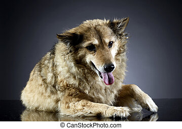 old mixed breed dog in a dark studio