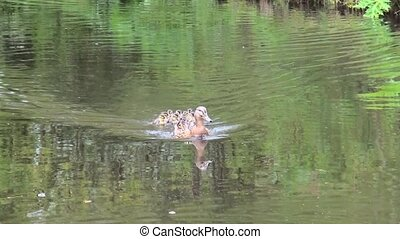 Wild Duck with 11 young ducks
