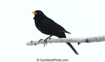 blackbird (Turdus merula) isolated on a white background