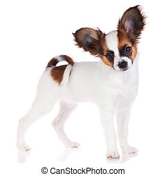 Papillon puppy isolated on a white background