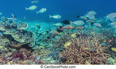 Colorful reef fish swimming above a coral reef in Raja...