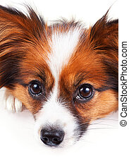 Papillon dog isolated on a white background