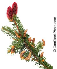 Branch of Norway spruce with male and female flowers