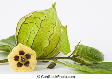 Cape gooseberry flower and calyx (Physalis peruviana) on...