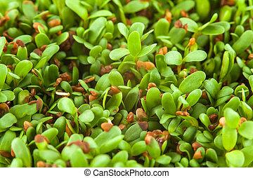 alfalfa, Brotes,  sativa),  (medicago