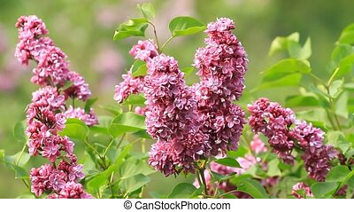 Lilac purple flowers spring floral background.