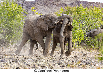 elephants fighting in the savannah of Namibia