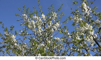 fruit tree twig with white blooms in spring. 4K - Blooming...