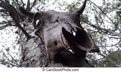 Bull skull totem in the forest - Close up of bull skull...