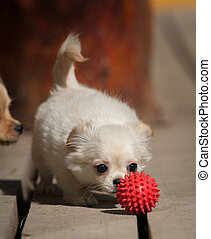 cute little chiwawa puppy with a ball - cute little chiwawa...