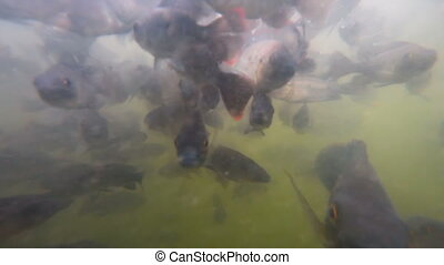 A flock of fish in troubled waters - A flock of freshwater...