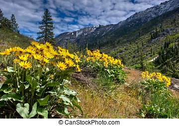 Arnica or balsamroot blooming in alpine meadows. - Cascade...
