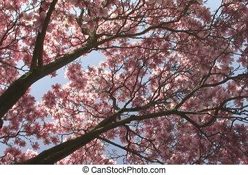 Pink spring tree.