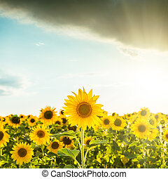 sunset over field with sunflowers
