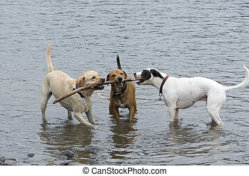 Three dogs and a stick - Three dogs in river tugging on same...
