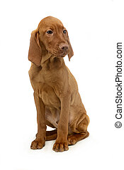 puppy hungarian vizsla sitting and looking sideways in a...