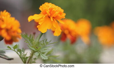 Orange flower - Orange chrysanthemums planted outside in...