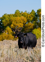 Black Angus cow standing in a sagebrush field - Autumn...