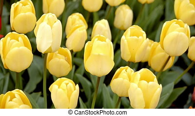 yellow tulips on the flowerbed.