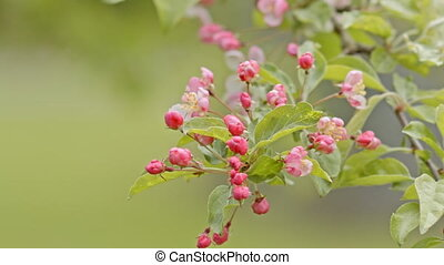 pink Apple flowers on a branch
