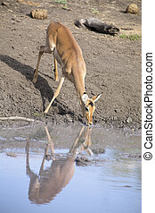 Female impala drinking water at a pond in late afternoon