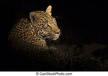 Portrait of leopard lay down in the darkness to rest