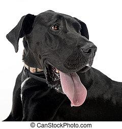 Black Great Dane portrait in a white studio background