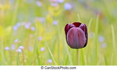 the black Tulip on green background