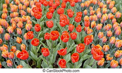 colorful tulips on the flowerbed.