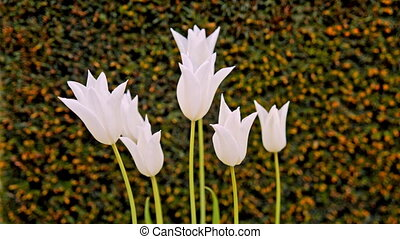 white tulips on the flowerbed.