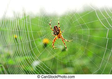 European garden spider (Araneus diadematus), diadem spider,...