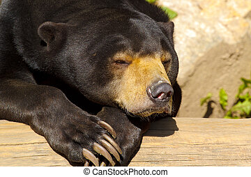 Sun bear also known as a Malaysian bear Helarctos malayanus...