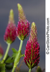 Red clover flowers - Three bunches of flowers from a red...