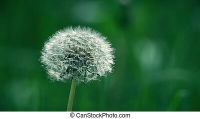 White dandelion flower seed head. 4K telephoto lens close-up...