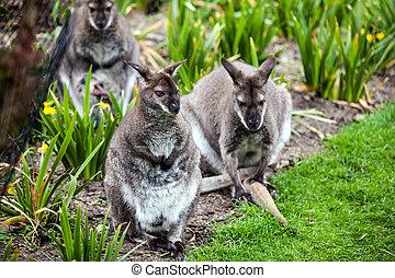 wallaby,  bennett