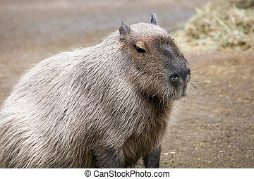 Capybara animal close up - Capybara (Hydrochoerus...