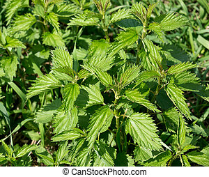 Stinging nettle urtica dioica growing on amish countryside...