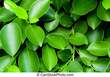 background or texture of Leaves of ornamental plant