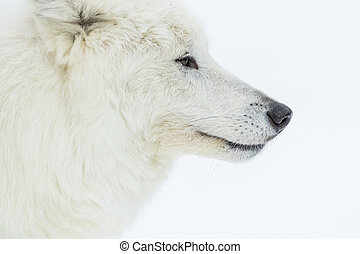Artic Wolf In The Snow - An Arctic Wolf in a snowy forest...