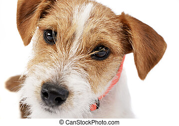 Portrait of an adorable Jack Russell Terrier