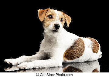 Studio shot of an adorable Jack Russell Terrier