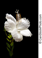 white Hibiscus on black background