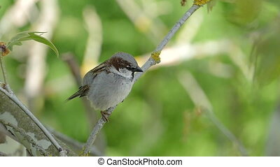 House Sparrow, Chirping - House Sparrow Sitting On A...