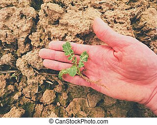 Farmer hand hold rapeseed in spring field. agriculturalist...