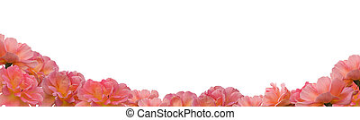 pink apricot rose flowers frame border on white - pink...