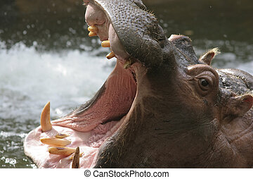 Hippopotamus in the water with its mouth wide open showing...