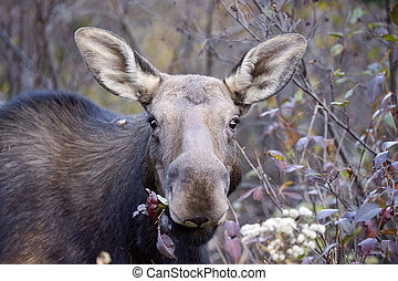 young moose in the forest - young moose in the forest