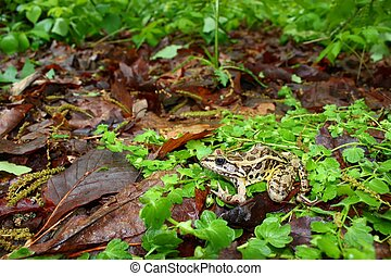 Pickerel Frog Rana palustris - A Pickerel Frog Rana...