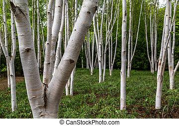 Silver birch trees (betula pendula)
