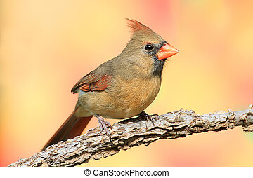 Northern Cardinal - Female Northern Cardinal (Cardinalis)...